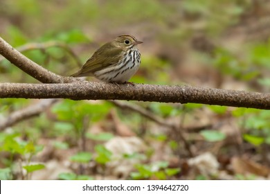 Ovenbird perched on a branch low to the ground. Rosetta McClain Gardens, Toronto, Ontario, Canada.