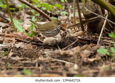 Ovenbird walking in the leaf litter on the forest floor. Rosetta McClain Gardens, Toronto, Ontario, Canada.