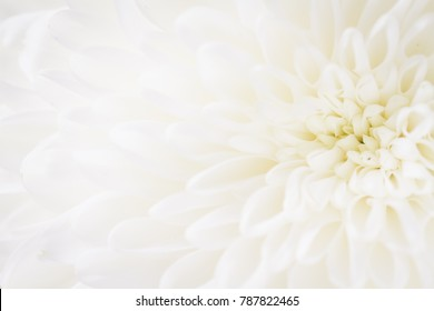 over exposed light and soft closeup of white Chrysant flower with center on the right