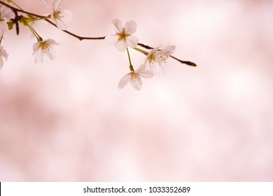 Over hangging Cherry blossom flower with beautiful pastel pink background. Shallow depth of field.
