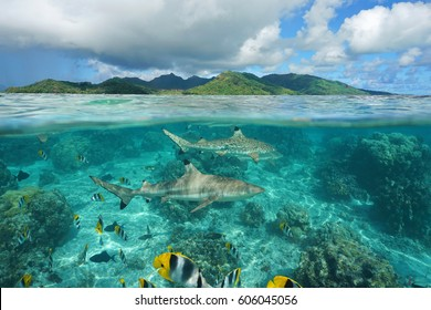 Over under sea surface sharks with tropical fish underwater and island of Huahine, Pacific ocean, French Polynesia
