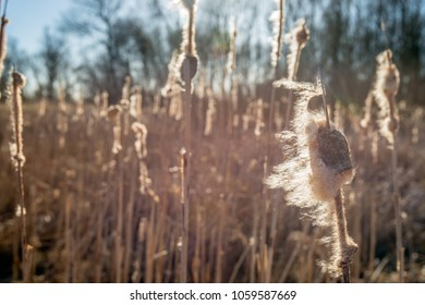 Overblown female flower spike of a common bulrush or Typha latifolia plant in a marshy area of a Dutch nature reserve blowing in the wind on a sunny day in the end of the winter season.