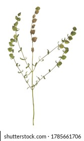 Overblown narrow-leaved rattle, Rhinanthus angustifolius isolated on white background
