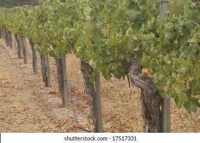 Overcast Morning in the Vineyard
