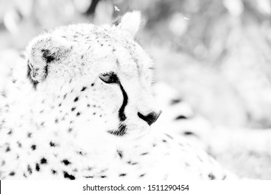 An overexposed high key image of a Cheetah, Masai Mara
