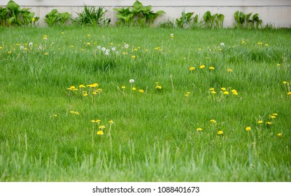 Overgrown backyard landscape with long grass and dandelions filling a majority of image. Base of house, lined with plant growth and weeds visible at top.
