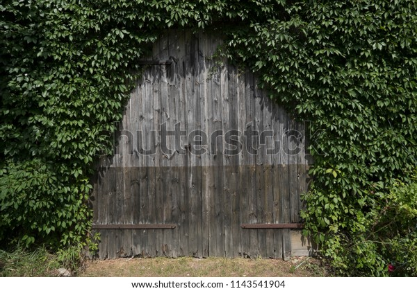 overgrown and closed door of wooden shed