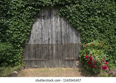Overgrown doors of wooden shed with red flowers in front