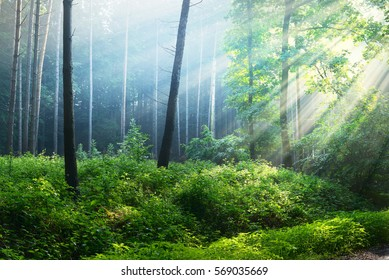 Overgrown green forest in fog with sun rays. Osnabruck, Germany