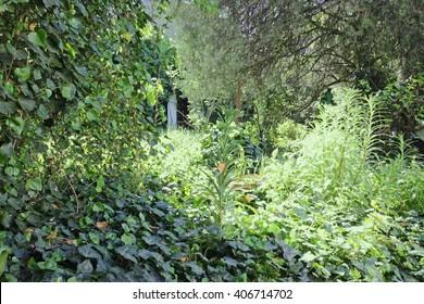 Overgrown green garden with  ivy