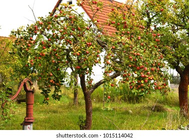 Overgrown orchard with apple trees and an old water pump in the left front corner