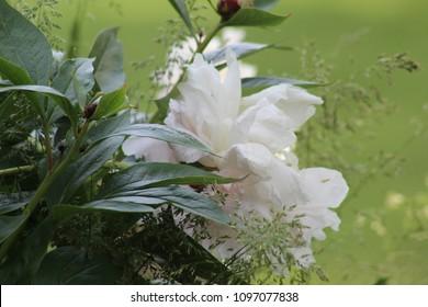 Overgrown Peony Blossom