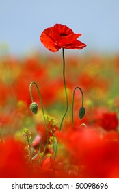 overgrown red poppy flower with two buds on the flower field