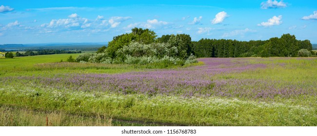 Overgrown with sage with lilac flowers green summer meadow in the Tom river valley, Kemerovo region