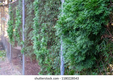 Overgrown trees and vegetation creeps through a fence line of a neighbor's property on the fence. Concept for suburbs, bad neighbors, property line issues
