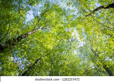 Overhead birch tree canopy of branches and lime green leaves through towering tree trunks and spindly branches.