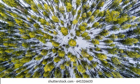 An overhead drone photo looking down at a pine forest