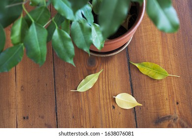 Overhead photo of indoor plant dropping yellow leaves on wooden floor.  Taking care of houseplants concept.