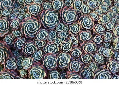 Overhead shot of common houseleek (lat. Sempervivum) succulent plants, also called liveforever and hen and chicks
