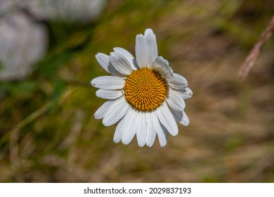 An overhead shot of a Mayweed flower in the greenery