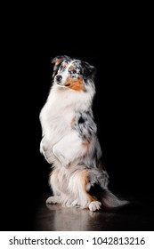 Overhead view of Australian Shepherd during a low-key studio sit as rabbit
