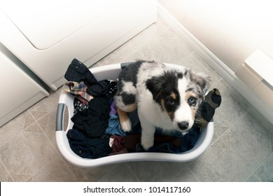 Overhead view of Australian Shepherd puppy in laundry basket of clothes in laundry room.