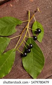 Overhead view of branch of bird berries on wooden background. Studio lighting. Healthy eating concept