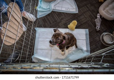 Overhead view of brown and white puppy looking up from holding pen, sitting on pee-pad with toys, water bowl, and bed in view