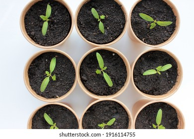 Overhead view of Cherry tomato plant seedling in brown organic pots on the white background. Growing vegetables indoors in the windowsill garden. Young green sprouts in soil. Selective focus