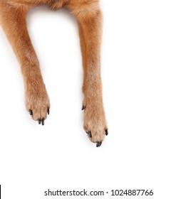 overhead view of chihuahua mix legs and paws studio shot isolated on a white background
