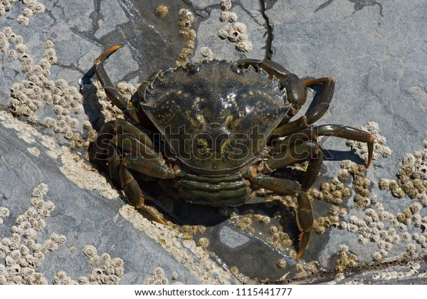 Overhead view of Female Green Shore Crab (Carcinus maenas) carrying eggs in her abdomen