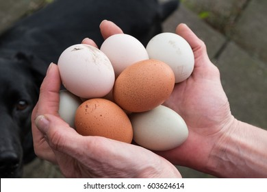 Overhead view of hands holding fresh laid hen eggs. dog in background.