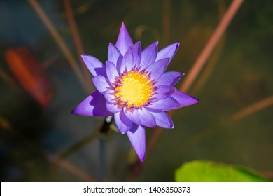 Overhead view of purple water lily against a shallow DOF background
