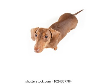 overhead view of a short haired dachshund looking up studio shot isolated on a white background
