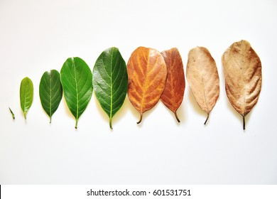 Overhead view of tender to old leaves arranged sequentially - conceptual image of life and aging. Phases of life - childhood, adolescence, adulthood and old age. Health of skin and skin care.