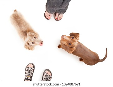 overhead view of two dachshund dogs begging in front of two people studio shot isolated on a white background