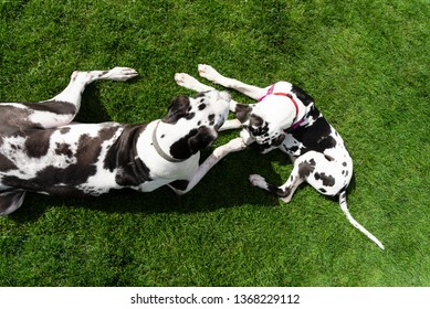 Overhead view of two harlequin great dane dogs laying in beautiful summer green grass.