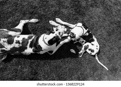 Overhead view of two harlequin great dane dogs laying in grass, black and white.