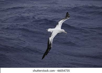 Overhead view of a Wandering Albatross (Diomedea exulans) in flight over the Atlantic Ocean.