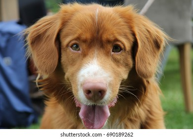 Overijse,Belgium - July 15 2017 Duck tolling retriever