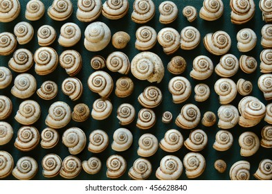 the overland snail, a lot cockleshells arranged in a row
