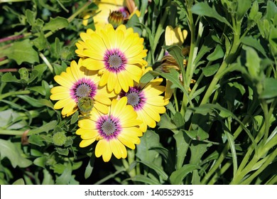 Overlapping foursome african Daisy blooms