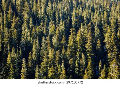 Overlooking Pines at Mount Rainier National Park