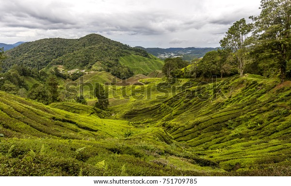 Overlooking a tea plantation with trees in the Cameron Highlands the mountainous area in Malaysia.