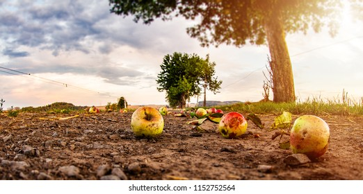 Overripe apples fall from the tree and lie on ground