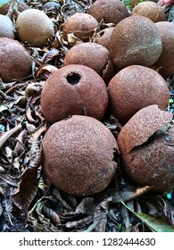 Overripe Cannonball fruits on the ground