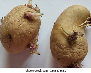 Overripe Potatoes and Tuber Growth on a white paper background