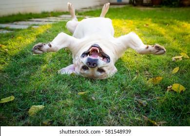 Overturn Labrador retriever