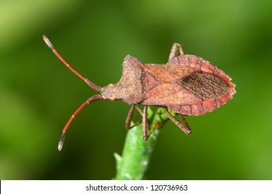 Overview of a brown squash bug. Coreus marginatus