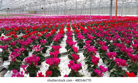 Overview over a field of Cyclamen flower in pots on tables, in a large greenhouse